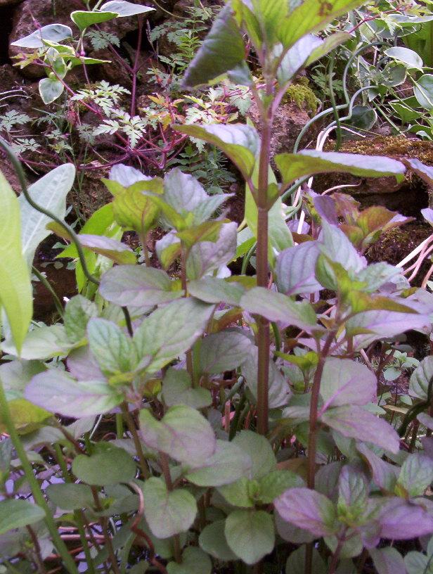 Plante feuille rouge finest plante cadeau que luon offre souvent luanthurium claire les - Plante a feuille rouge ...