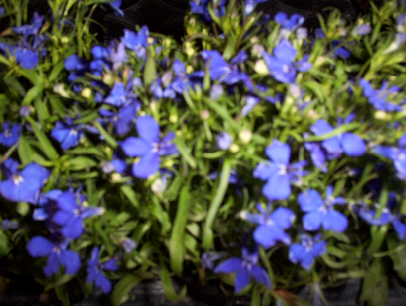 plante grasse a petites fleurs bleues