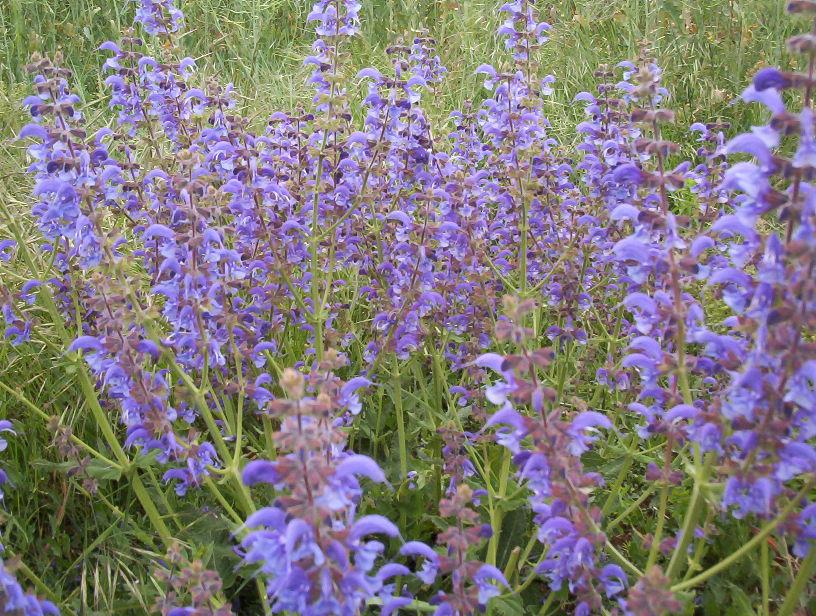Emejing fleur mauve claire gallery design trends 2017 for Fleurs de jardin vivaces