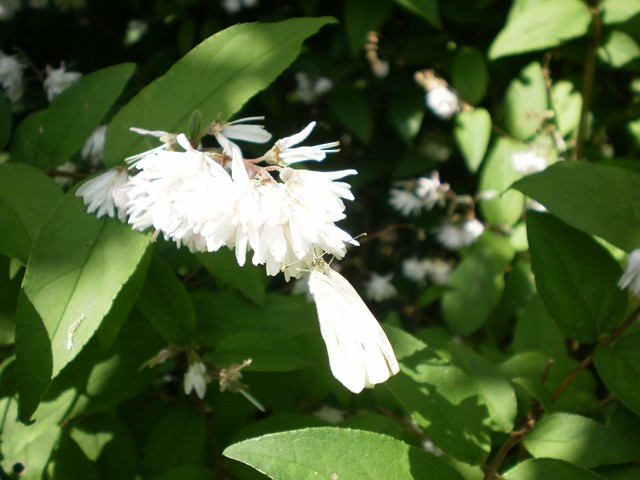 Arbres et arbustres for Plante odorante