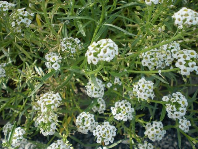 Rocaille - Fleur blanche longue tige ...